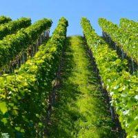 leurs-lampes-uv-boostent-la-vigne-sans-user-de-pesticides-1398375